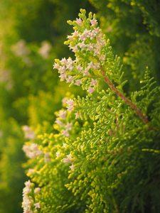 Hækplanter online – Se de 10 mest populære hække i Danmark