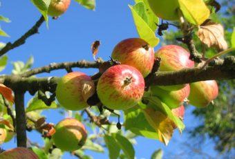 æbletræ pris