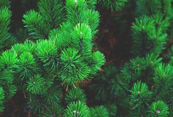 nåletræer til haven