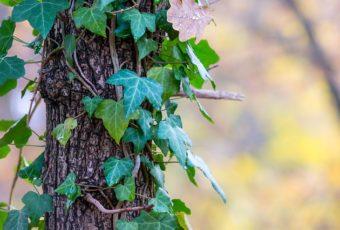 opstammede træer til haven