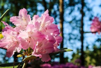 rhododendron pris