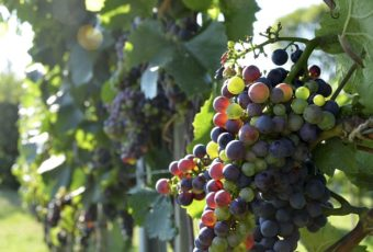 vinplanter pris