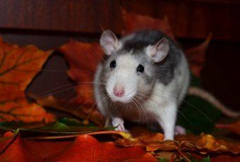 rottebekæmpelse